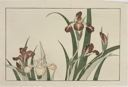 Image of Irises, from The Picture Book of Realistic Paintings of Hokusai (Hokusai shashin gafu)